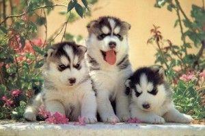 Comprar husky siberiano por internet