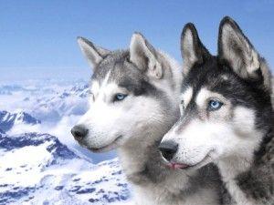 Comprar husky siberiano online al mejor precio