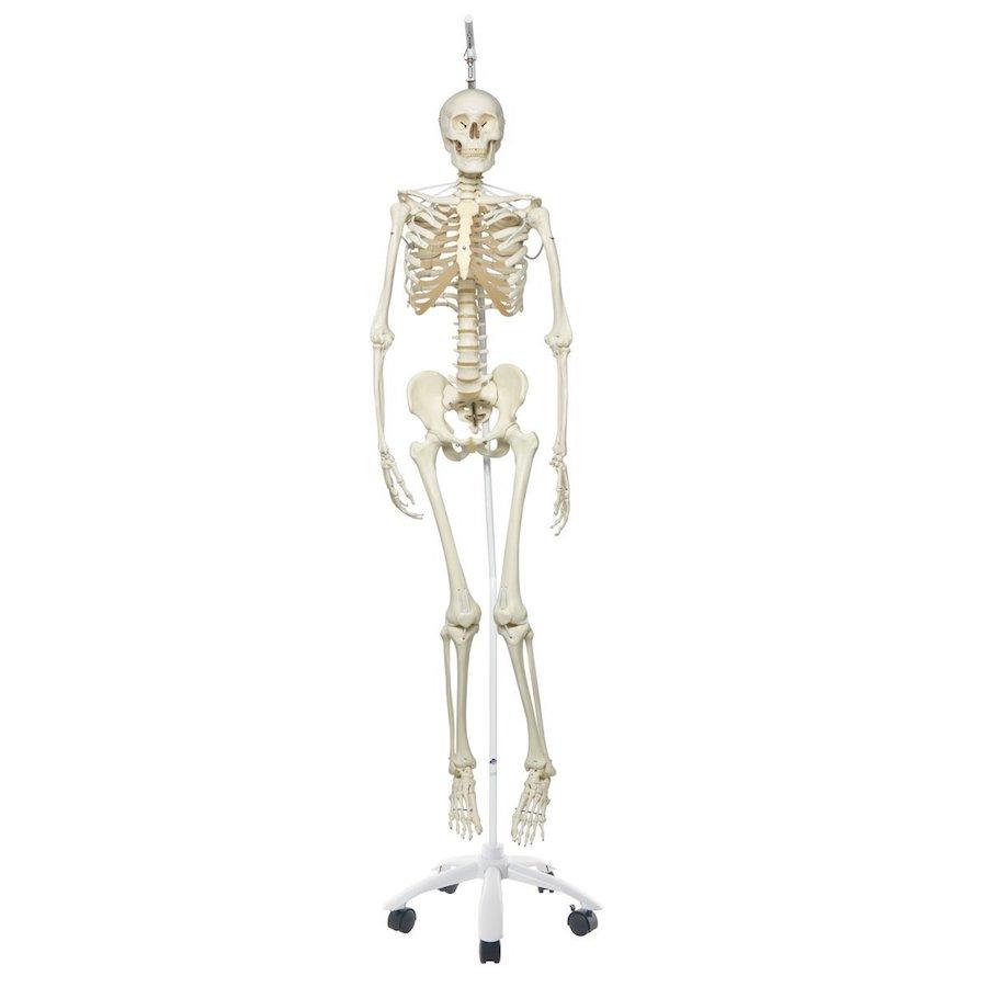esqueleto humano barato